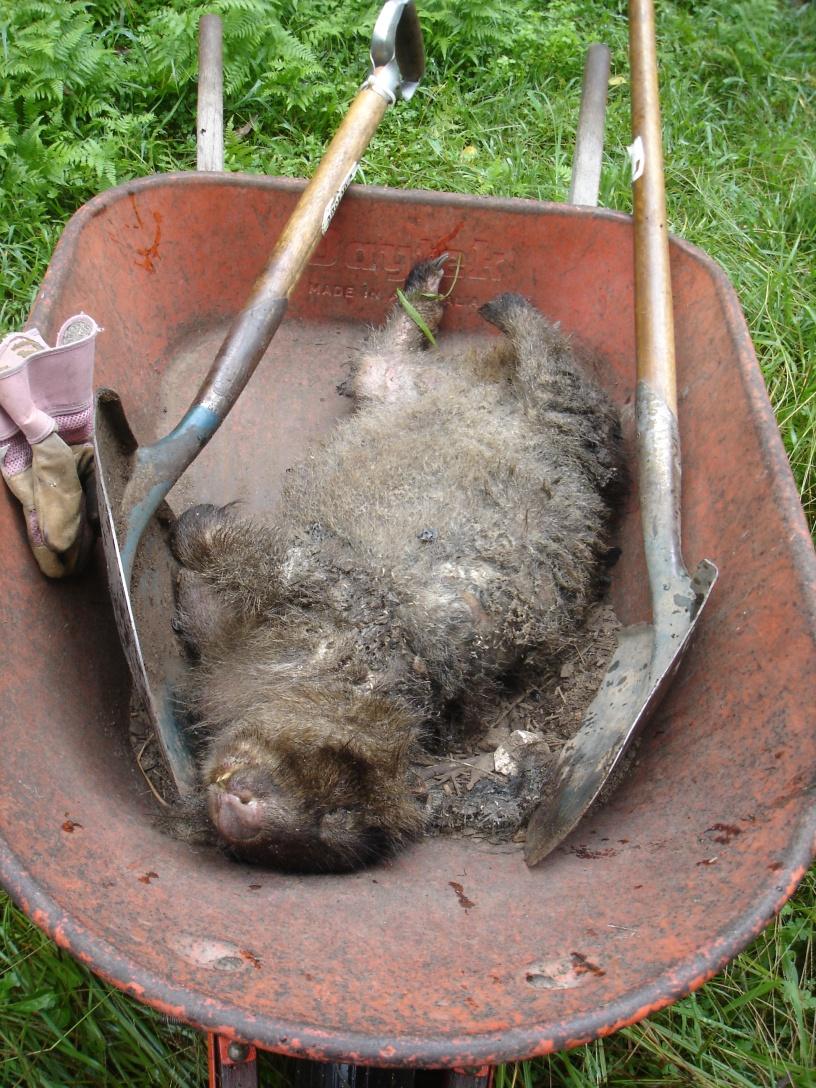 Farm life... burying wildlife