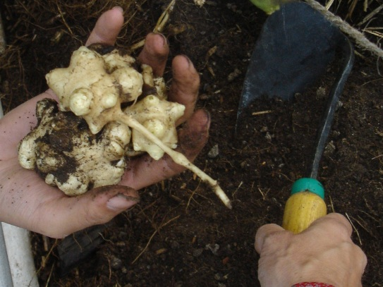 Harvesting Autumn Gold - Jerusalem ARtichoke