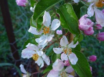Apple trees