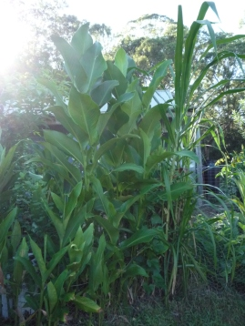 Shelterbelt: arrowroot and bana grass