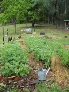 Valley's End veggie patch & chook yard (2013) Chinese Tallow Tree in the background (top left)