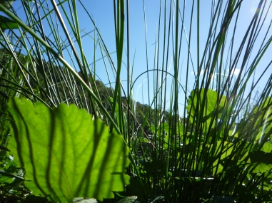 Reeds and Mallow