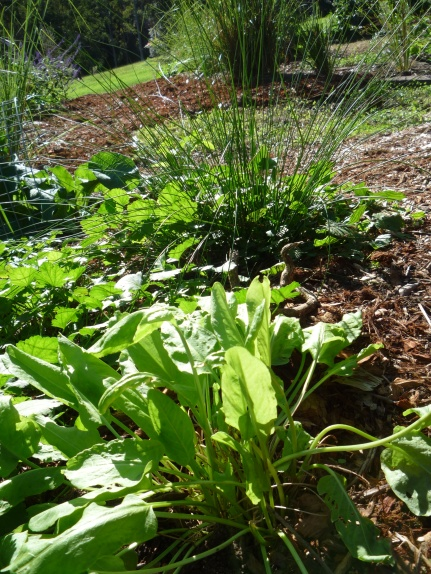 Reed at the back indicate moisture - plant moisture-loving plant next to it: Sorrel (and the self sown Mallow)