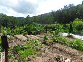 The Veggie Patch - after double digging - planted with Winter greens.