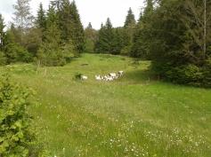 pastured cows
