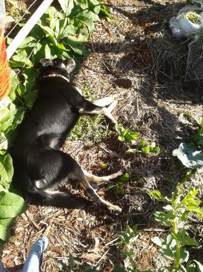 My faithful companion, guarding my favourite garden tool (and soaking on some sweet Winter sunshine!)