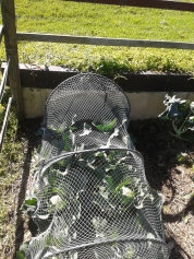 Time to net the cabbages... parrots are feeding!