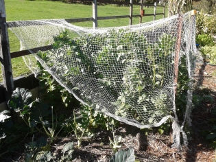Broadbeans under net too... it should hopefully deter parrots (but not the Bower birds that can fly underneath) sigh!