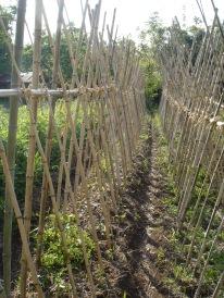 Climbing beans vs. bush beans - Japan 2010