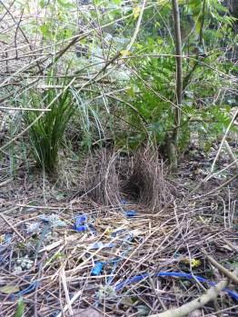 Bower Bird love nest