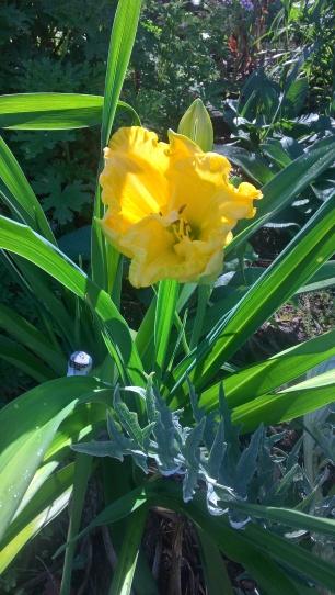 Hemerocallis - edible flowers