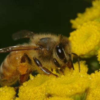 Bees and Tansy