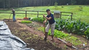 Green manuring for organic matter